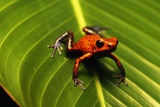 Strawberry Poison Arrow Frog Photographic Print