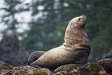 Steller Sea Lion in Alaska Photographic Print