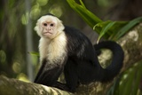 White-Faced Capuchin in a Tree in Manuel Antonio National Park Fotografisk tryk