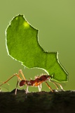 Leafcutter Ant, Costa Rica Papier Photo