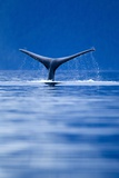 Sounding Humpback Whale, Alaska Photographic Print