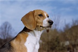 Young Beagle Photographic Print