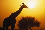 Silhouette of Giraffe at Sunrise Photographic Print