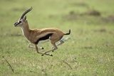 Running Thomson's Gazelle Photographic Print