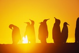 Silhouetted King Penguin Colony at Sunrise Photographic Print