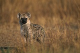 Spotted Hyena Pup Photographic Print