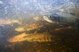 Spawning Chum Salmon in Alaska Reprodukcja zdjęcia