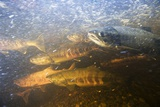 Spawning Chum Salmon in Alaska Photographic Print