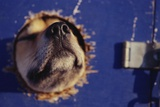 Sled Dog Sticking Head Through Hole Photographic Print