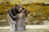 Sparring Brown Bears, Katmai National Park, Alaska Photographic Print