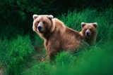 Brown Bear Sow and Cub Photographic Print