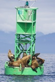 Steller Sea Lions on Buoy in Alaska Photographic Print