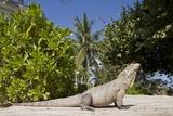Lesser Caymans Iguana Photographic Print