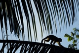 Spider Monkey, Costa Rica Photographic Print