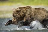 Brown Bear Fishing, Katmai National Park, Alaska Photographic Print