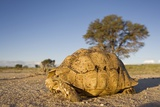 Leopard Tortoise in Kgalagadi Transfrontier Park Photographic Print