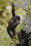 Young Mountain Gorilla Hanging from Branch Reprodukcja zdjęcia