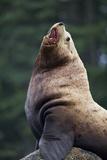 Steller Sea Lion Bull in Alaska Photographic Print