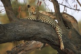 Leopard in Tree Photographic Print