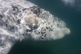 Southern Right Whale Off Peninsula Valdes, Patagonia Photographic Print