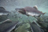 Spawning Salmon, Katmai National Park, Alaska Reprodukcja zdjęcia