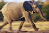 African Elephant Running Photographic Print