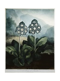 Book Illustration of a Group of Auriculas Giclee Print