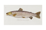 Brown Trout (Salmo Trutta) Giclee Print by Baron Carl Von Meidinger