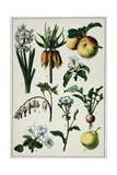 19th-Century French Botanical Print Giclee Print