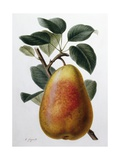 Study of a Pear Giclee Print by Adrienne Faguet
