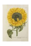 Chrysanthemum: Indicum Flore Et Semine Maximum Giclee Print