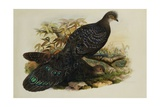 Assam Peacock Pheasant Giclee Print by Henry Constantine Richter