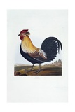 Cock (Phasianus) Giclee Print by Robert Havell