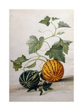 A Study of Gourds Giclee Print by Pieter Withoos