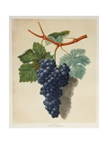Black Muscadine Grapes Giclee Print