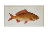 Golden Carp Giclee Print by Thomas Bewick