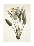 Bird of Paradise Giclee Print by Pierre Joseph Redoute