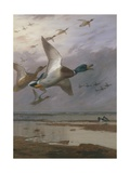 Duck Rising Giclee Print by Archibald Thorburn