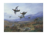 Grouse Taking Flight Giclée-Druck von Archibald Thorburn