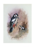 Pied Woodpecker Giclee Print by Archibald Thorburn
