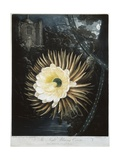 Book Illustration of the Night Blowing Cereus Giclee Print