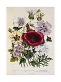 Hibiscus Africanus Botanical Illustration Giclee Print