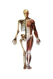 Vintage Medical Diagram of the Anterior Skeleton and Muscles Giclee Print