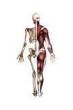 Vintage Medical Diagram of the Posterior Skeleton and Muscles Giclee Print