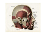 Lateral Cutaway View of the Muscles of the Face Giclee Print