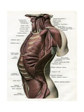 Illustration of the Muscles of the Male Torso and Neck Giclee Print