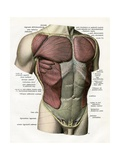 Illustration of the Muscles and Ligaments of the Human Torso Giclee Print