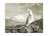 Illustration of Kangaroo Giclee Print