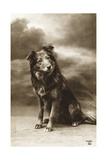 Postcard of a Sheperd-Collie Mix Giclee Print