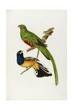 Pavonine Quetzal (Trogon Pavonius) and Surucua Trogon (Trogon Aurantius) Reproduction procédé giclée